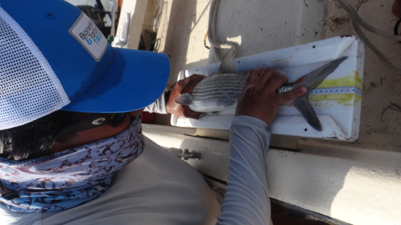 Measuring a bonefish